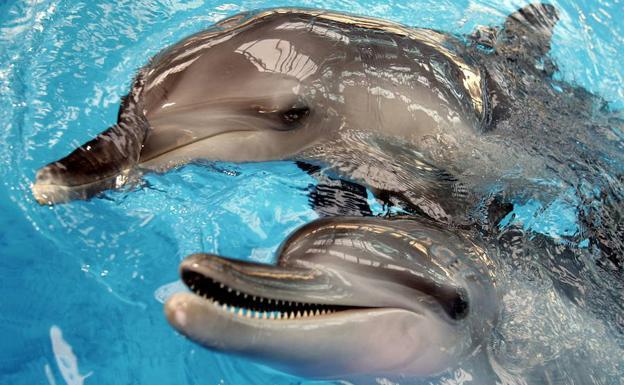 Delfines de nariz en forma de botella juguetean en la piscina del Ocean Park, en Hong Kong. /Paul Hilton (Efe)