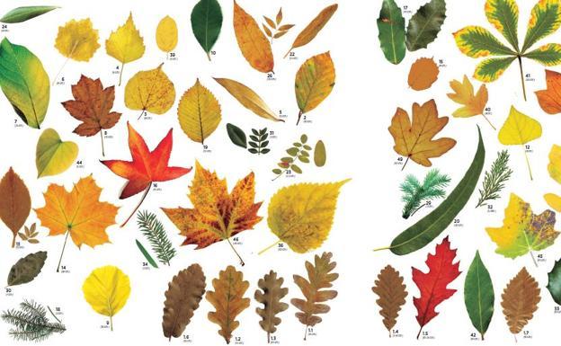 Cu ntas hojas de rboles eres capaz de identificar el for Arboles con sus nombres y caracteristicas