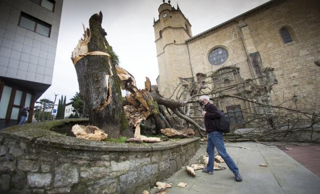 El tilo del Juncal, derribado por el viento el 21 de febrero. / F. DE LA HERA